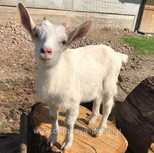 Разводить коз и производство козьего сыра