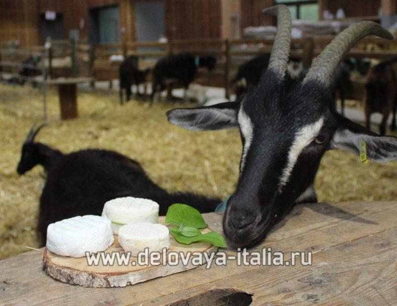 Козье молоко и козий сыр